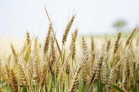Le son de blé : l'allié du sportif qui prend soin de sa ligne !