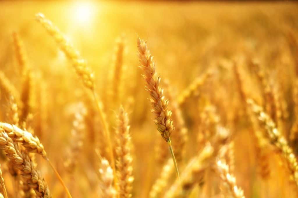 Le germe de blé : un aliment qui apporte la vitalité