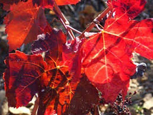 la vigne rouge: votre alliée contre les jambes lourdes