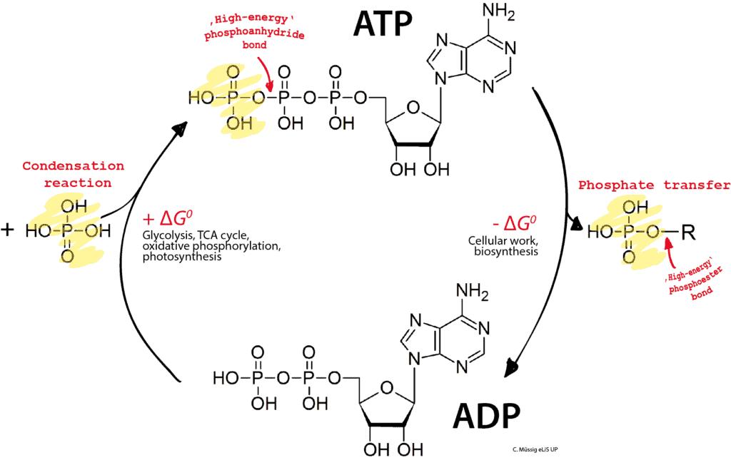 La formation de l'ATP : focus sur le cycle de krebs et la chaine respiratoire