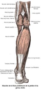 Les muscles de la hanche et du genou