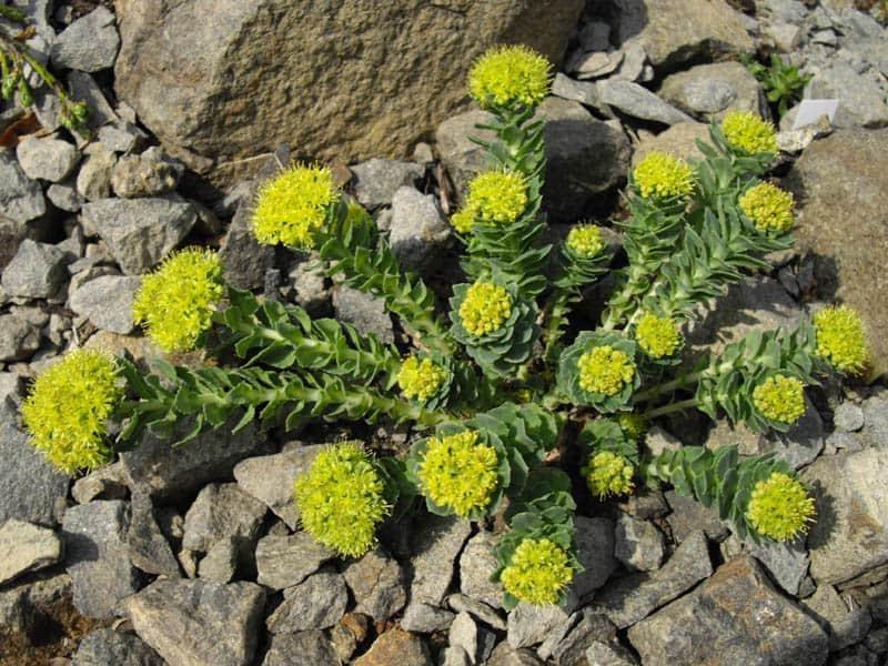 Le rhodiola: une plante adaptogène idéale pour la santé et l'endurance