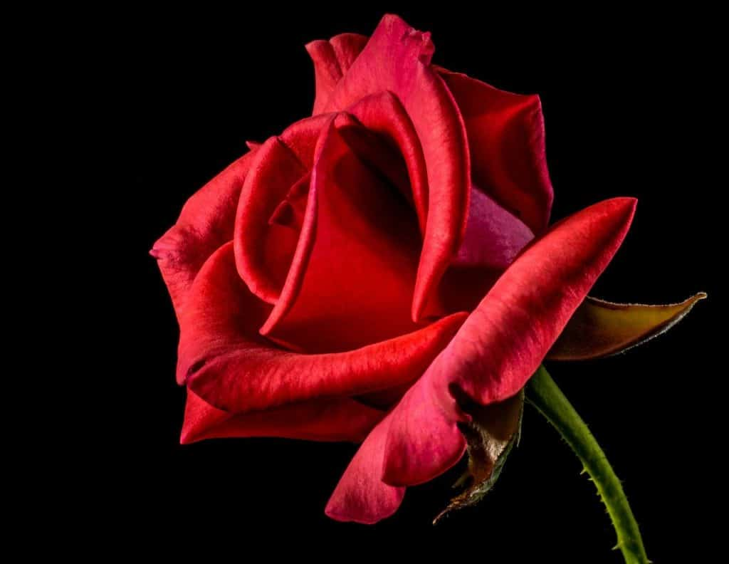 Testez les bienfaits de la rose
