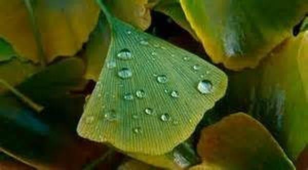 Focus sur les vertus du ginko biloba