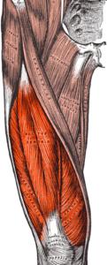 Focus sur les quadriceps