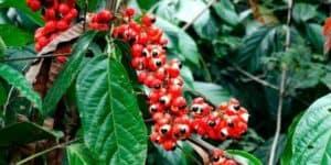 Le guarana : un stimulant amincissant à utiliser avec modération