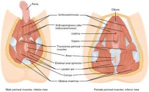 Le périnée et les muscles du plancher pelvien
