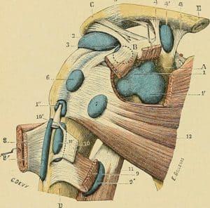 Les muscles de l'articulation scapulo-humérale