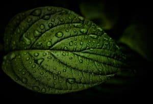 Les bienfaits et propriétés de la chlorophylle